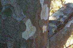 Plantain Tree