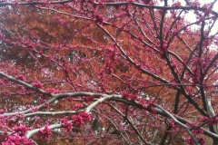 Redbud and Maple